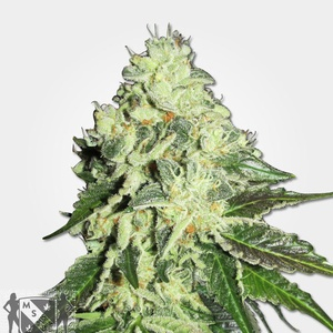 Nitro Lemon Haze Feminized